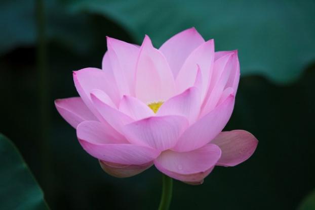 Joetsu Lotus Festival (Takada Park)